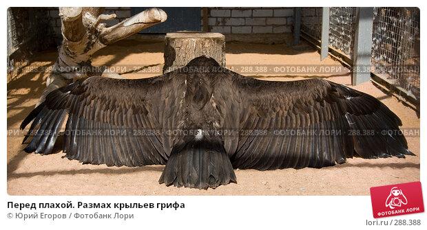Перед плахой. Размах крыльев грифа, фото № 288388, снято 27 апреля 2008 г. (c) Юрий Егоров / Фотобанк Лори
