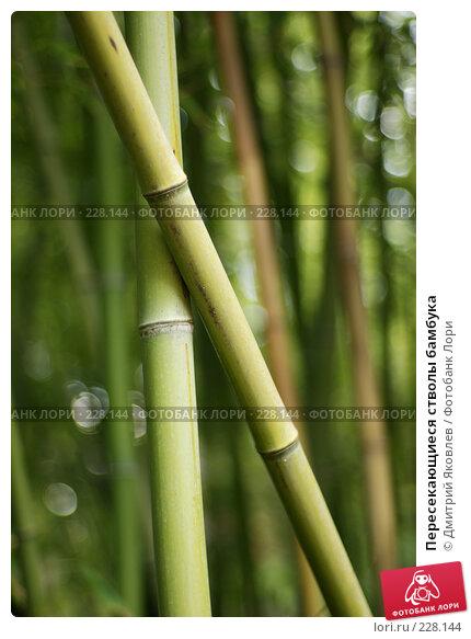 Купить «Пересекающиеся стволы бамбука», фото № 228144, снято 8 октября 2007 г. (c) Дмитрий Яковлев / Фотобанк Лори