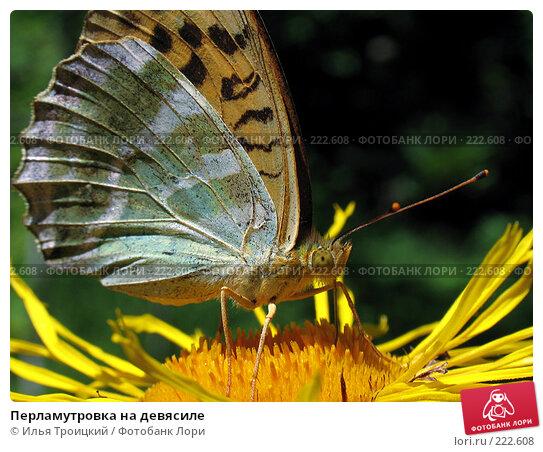 Перламутровка на девясиле, фото № 222608, снято 18 августа 2005 г. (c) Илья Троицкий / Фотобанк Лори
