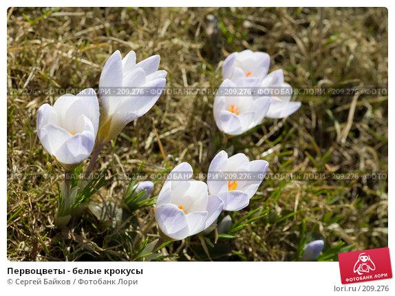 Купить «Первоцветы - белые крокусы», фото № 209276, снято 1 апреля 2007 г. (c) Сергей Байков / Фотобанк Лори
