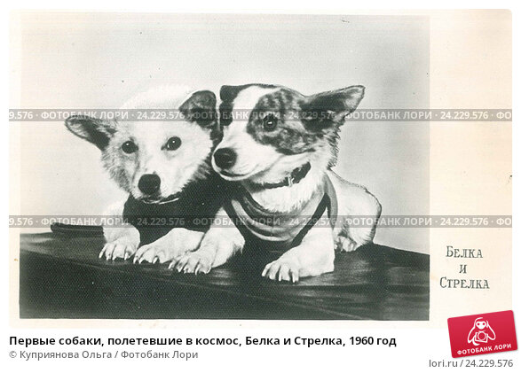 Купить «Первые собаки, полетевшие в космос, Белка и Стрелка, 1960 год», иллюстрация № 24229576 (c) Куприянова Ольга / Фотобанк Лори