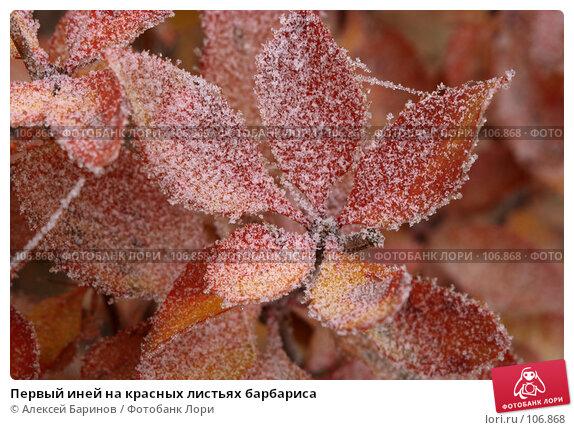 Первый иней на красных листьях барбариса, фото № 106868, снято 31 октября 2007 г. (c) Алексей Баринов / Фотобанк Лори