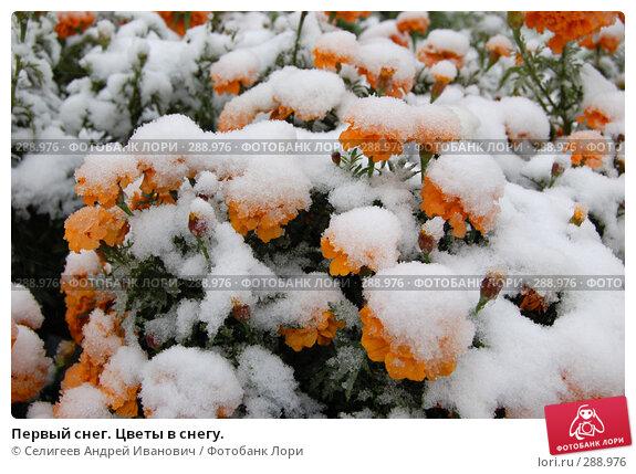 Первый снег. Цветы в снегу., фото № 288976, снято 4 октября 2006 г. (c) Селигеев Андрей Иванович / Фотобанк Лори