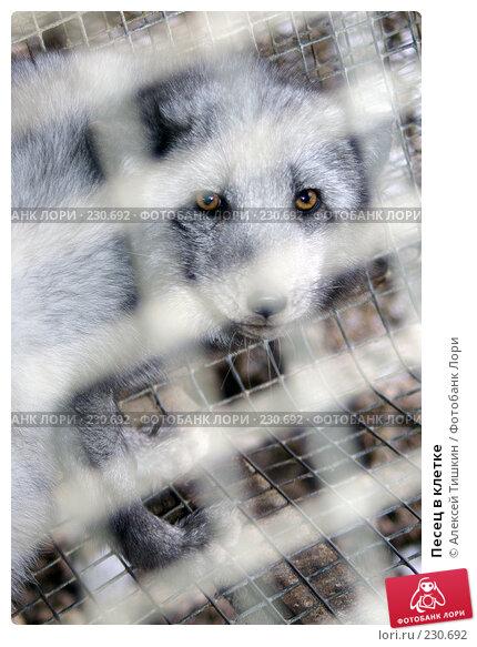 Песец в клетке, фото № 230692, снято 6 ноября 2007 г. (c) Алексей Тишкин / Фотобанк Лори