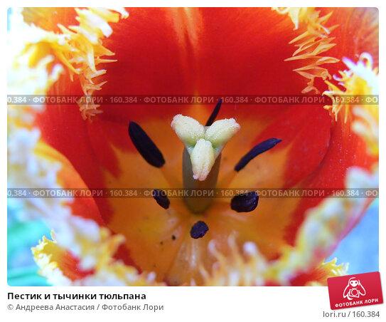 Купить «Пестик и тычинки тюльпана», фото № 160384, снято 19 мая 2007 г. (c) Андреева Анастасия / Фотобанк Лори