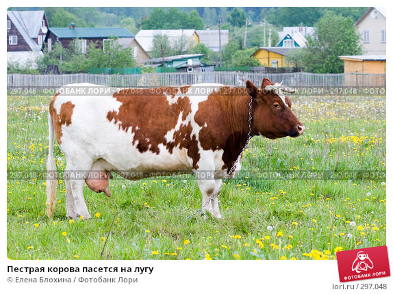 Пестрая корова пасется на лугу, фото № 297048, снято 21 мая 2008 г. (c) Елена Блохина / Фотобанк Лори