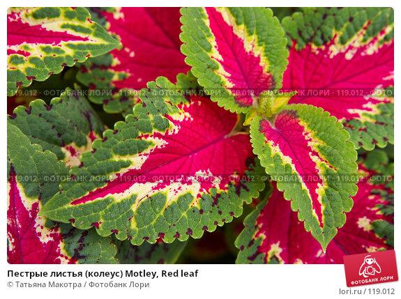 Купить «Пестрые листья (колеус) Motley, Red leaf», фото № 119012, снято 15 июля 2007 г. (c) Татьяна Макотра / Фотобанк Лори