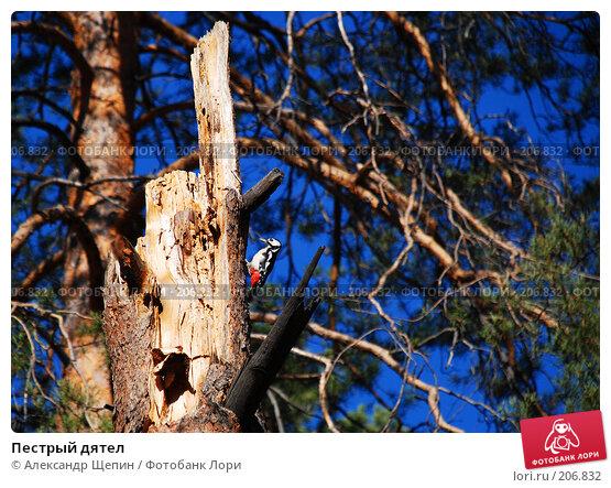 Пестрый дятел, эксклюзивное фото № 206832, снято 28 сентября 2007 г. (c) Александр Щепин / Фотобанк Лори