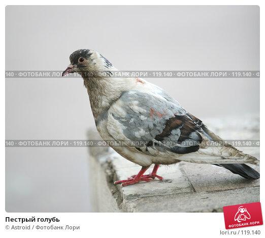 Пестрый голубь, фото № 119140, снято 8 мая 2007 г. (c) Astroid / Фотобанк Лори