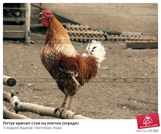 Петух кричит стоя на плетне (ограде), фото № 63988, снято 21 июля 2007 г. (c) Андрей Жданов / Фотобанк Лори