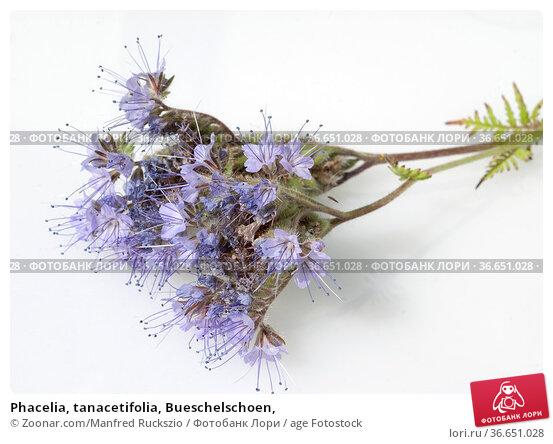 Phacelia, tanacetifolia, Bueschelschoen, Стоковое фото, фотограф Zoonar.com/Manfred Ruckszio / age Fotostock / Фотобанк Лори