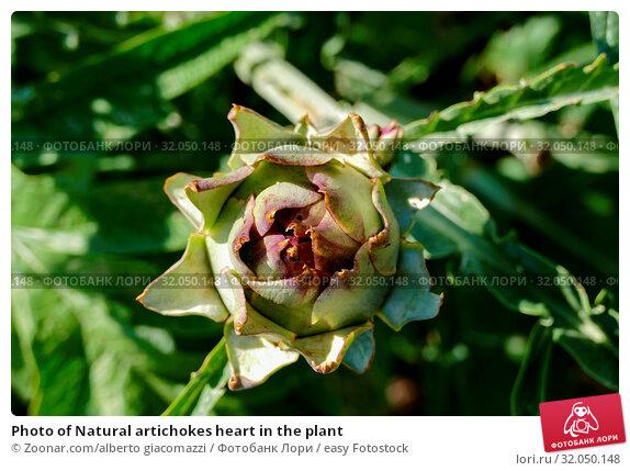 Photo of Natural artichokes heart in the plant. Стоковое фото, фотограф Zoonar.com/alberto giacomazzi / easy Fotostock / Фотобанк Лори
