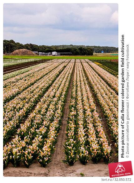 Photo picture of Calla flower colored garden field cultivation. Стоковое фото, фотограф Zoonar.com/alberto giacomazzi / easy Fotostock / Фотобанк Лори