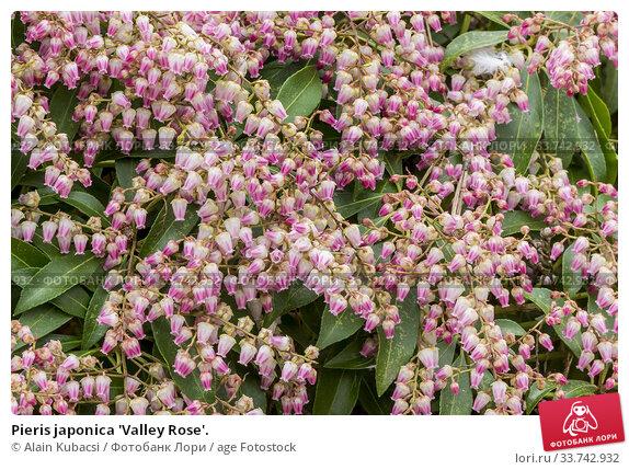 Pieris japonica 'Valley Rose'. Стоковое фото, фотограф Alain Kubacsi / age Fotostock / Фотобанк Лори