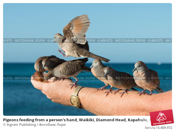 Купить «Pigeons feeding from a person's hand, Waikiki, Diamond Head, Kapahulu, St. Louis, Honolulu, Oahu, Hawaii, USA», фото № 6409972, снято 5 февраля 2013 г. (c) Ingram Publishing / Фотобанк Лори