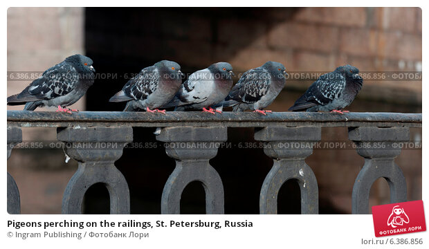 Купить «Pigeons perching on the railings, St. Petersburg, Russia», фото № 6386856, снято 24 февраля 2019 г. (c) Ingram Publishing / Фотобанк Лори