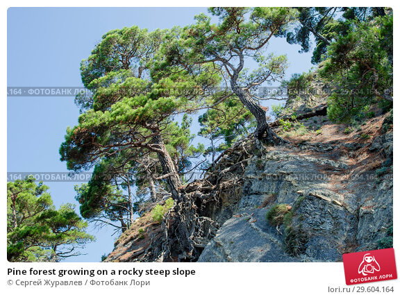 Купить «Pine forest growing on a rocky steep slope», фото № 29604164, снято 22 июля 2018 г. (c) Сергей Журавлев / Фотобанк Лори