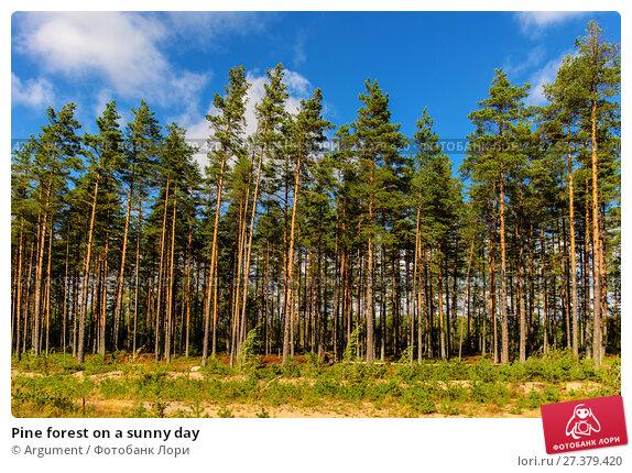 Купить «Pine forest on a sunny day», фото № 27379420, снято 5 сентября 2014 г. (c) Argument / Фотобанк Лори