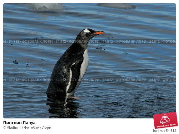 Пингвин Папуа, фото № 54812, снято 25 ноября 2006 г. (c) Vladimir / Фотобанк Лори