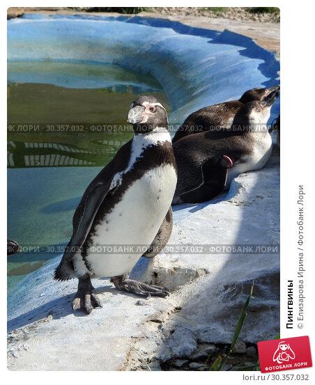 Пингвины (2018 год). Редакционное фото, фотограф Елизарова Ирина / Фотобанк Лори