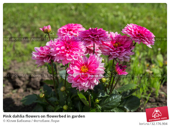Купить «Pink dahlia flowers on flowerbed in garden», фото № 32176904, снято 15 мая 2019 г. (c) Юлия Бабкина / Фотобанк Лори