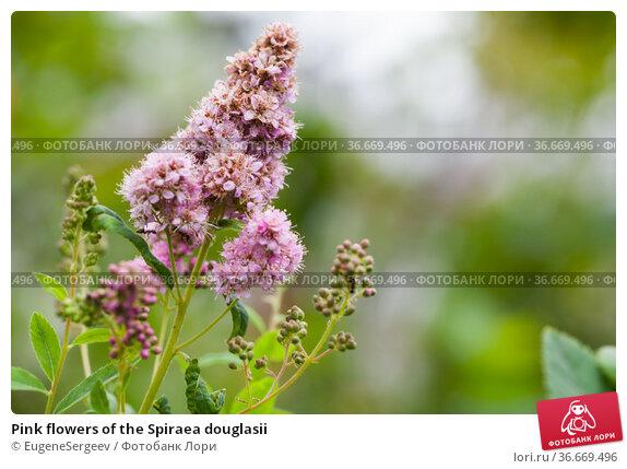 Pink flowers of the Spiraea douglasii. Стоковое фото, фотограф EugeneSergeev / Фотобанк Лори