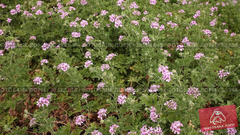 Купить «Pink flowers on Geranium bushes during spring blossoming», видеоролик № 30888648, снято 31 марта 2019 г. (c) Яков Филимонов / Фотобанк Лори