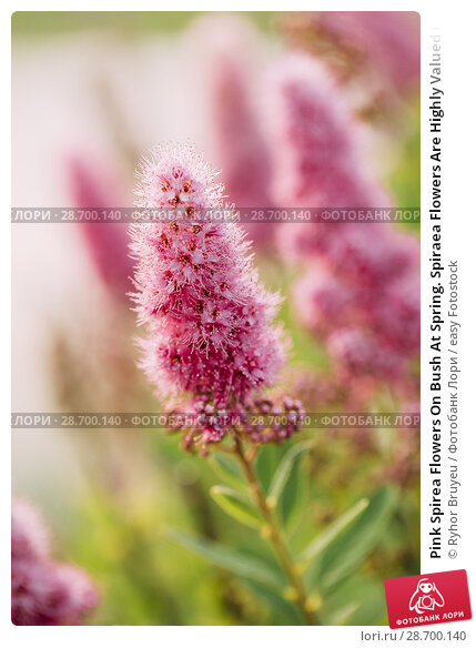 Купить «Pink Spirea Flowers On Bush At Spring. Spiraea Flowers Are Highly Valued In Decorative Gardening And Forestry Management. The Plant Is Widely Used In Landscaping And Organizations Hedges.», фото № 28700140, снято 17 июня 2016 г. (c) easy Fotostock / Фотобанк Лори