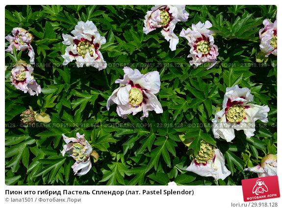 Купить «Пион ито гибрид Пастель Сплендор (лат. Pastel Splendor)», эксклюзивное фото № 29918128, снято 14 июня 2015 г. (c) lana1501 / Фотобанк Лори