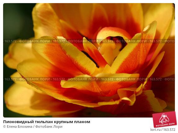 Пионовидный тюльпан крупным планом, фото № 163572, снято 16 мая 2007 г. (c) Елена Блохина / Фотобанк Лори