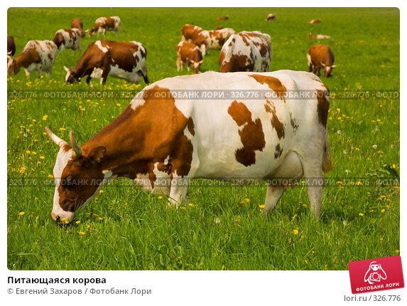 Купить «Питающаяся корова», фото № 326776, снято 28 мая 2008 г. (c) Евгений Захаров / Фотобанк Лори