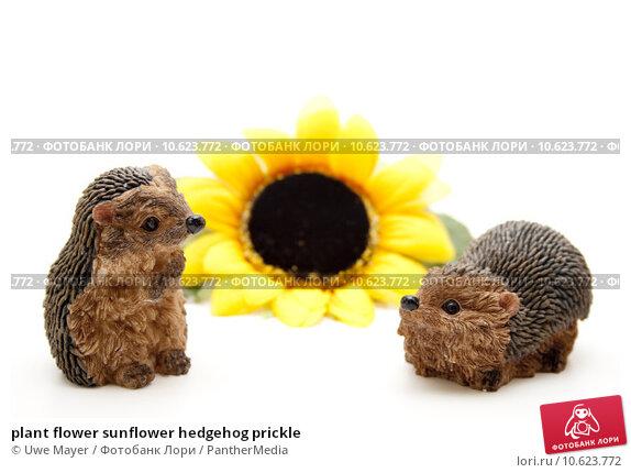 plant flower sunflower hedgehog prickle. Стоковое фото, фотограф Uwe Mayer / PantherMedia / Фотобанк Лори