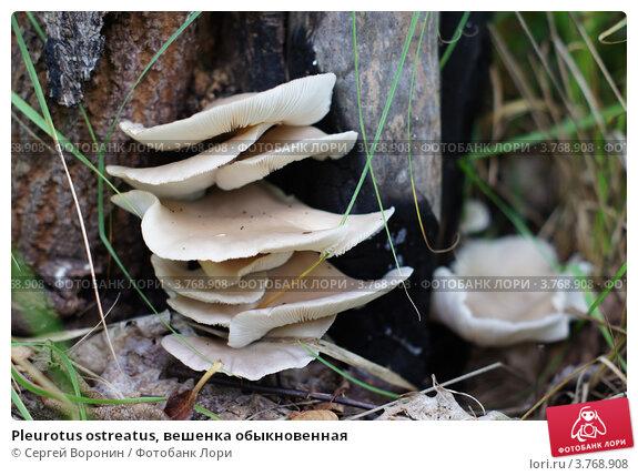 Pleurotus ostreatus, вешенка обыкновенная. Стоковое фото, фотограф Сергей Воронин / Фотобанк Лори
