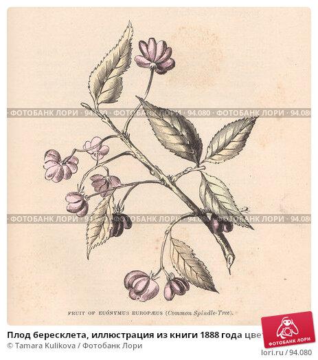 Плод бересклета, иллюстрация из книги 1888 года цветной вариант, иллюстрация № 94080 (c) Tamara Kulikova / Фотобанк Лори