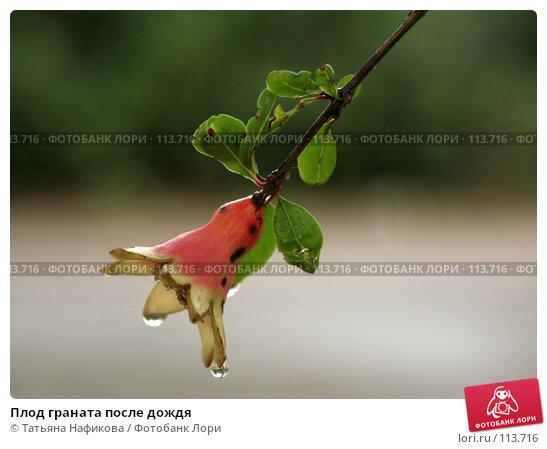 Плод граната после дождя, фото № 113716, снято 14 июля 2007 г. (c) Татьяна Нафикова / Фотобанк Лори