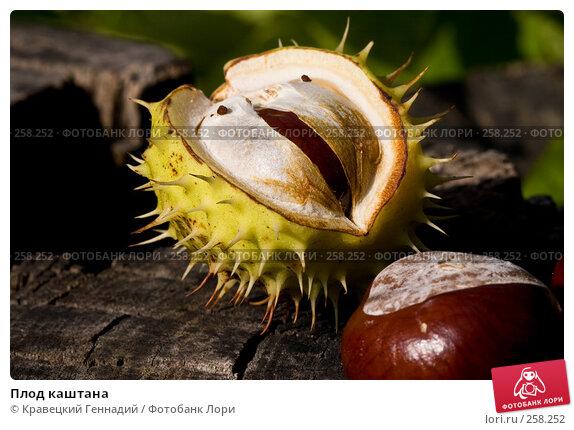 Плод каштана, фото № 258252, снято 6 октября 2004 г. (c) Кравецкий Геннадий / Фотобанк Лори