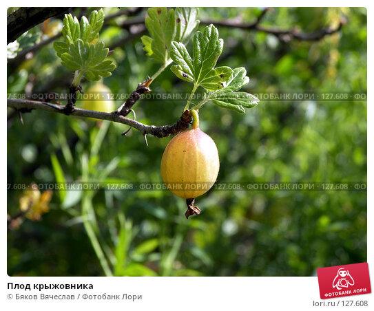 Плод крыжовника, фото № 127608, снято 26 июля 2007 г. (c) Бяков Вячеслав / Фотобанк Лори