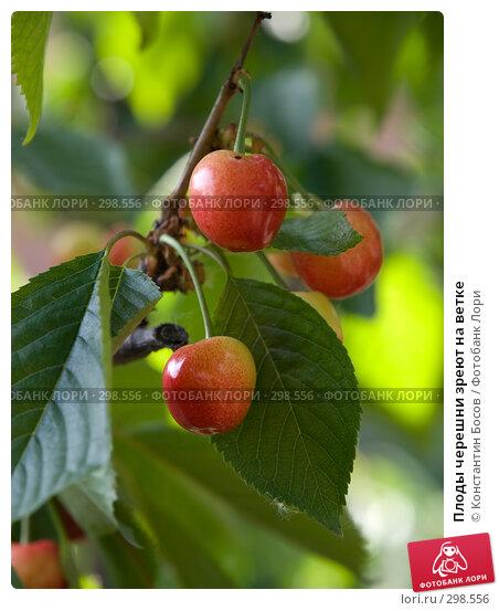 Плоды черешни зреют на ветке, фото № 298556, снято 24 марта 2017 г. (c) Константин Босов / Фотобанк Лори