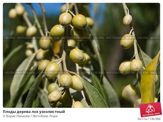 Плоды дерева лох узколистный, фото № 130956, снято 17 августа 2007 г. (c) Борис Панасюк / Фотобанк Лори