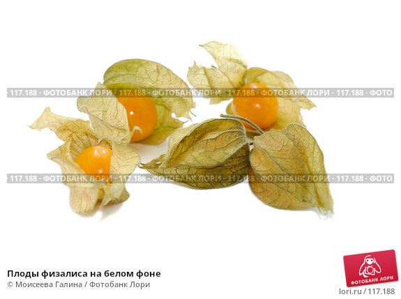 Плоды физалиса на белом фоне, фото № 117188, снято 14 октября 2007 г. (c) Моисеева Галина / Фотобанк Лори