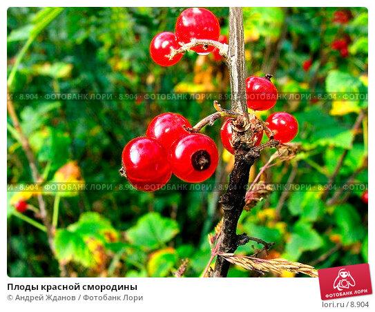 Плоды красной смородины, фото № 8904, снято 17 августа 2017 г. (c) Андрей Жданов / Фотобанк Лори