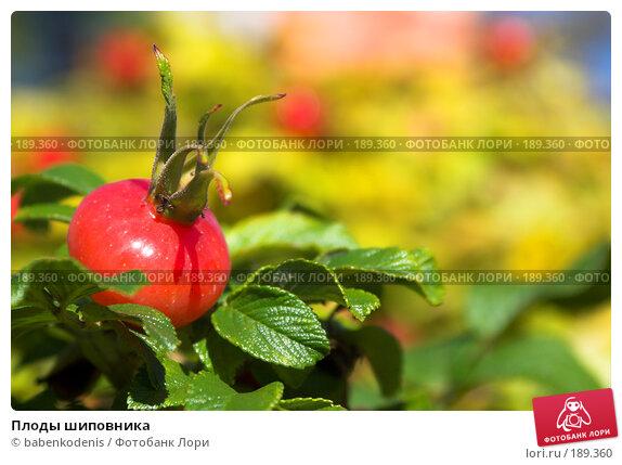 Плоды шиповника, фото № 189360, снято 21 сентября 2007 г. (c) Бабенко Денис Юрьевич / Фотобанк Лори