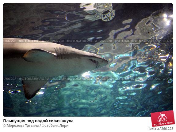 Плывущая под водой серая акула, фото № 266228, снято 20 апреля 2008 г. (c) Морозова Татьяна / Фотобанк Лори