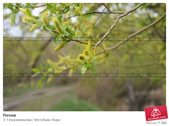 Купить «Почки», фото № 7364, снято 20 апреля 2018 г. (c) Т.Кожевникова / Фотобанк Лори