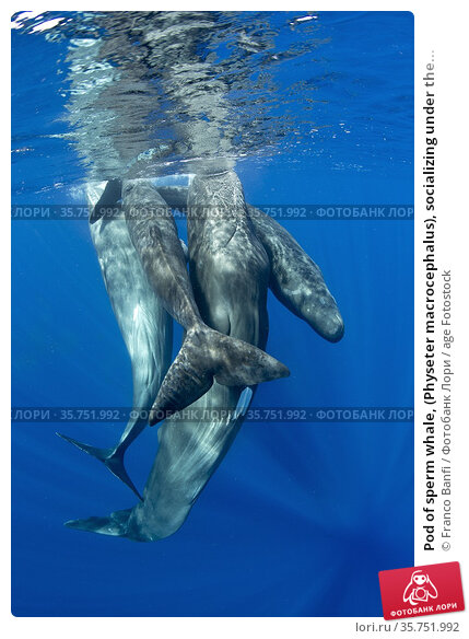 Pod of sperm whale, (Physeter macrocephalus), socializing under the... Стоковое фото, фотограф Franco Banfi / age Fotostock / Фотобанк Лори