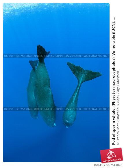 Pod of sperm whale, (Physeter macrocephalus), Vulnerable (IUCN), ... Стоковое фото, фотограф Franco Banfi / age Fotostock / Фотобанк Лори
