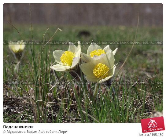 Подснежники, фото № 195180, снято 25 апреля 2005 г. (c) Мударисов Вадим / Фотобанк Лори