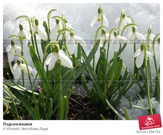 Купить «Подснежники», фото № 234152, снято 13 апреля 2005 г. (c) VPutnik / Фотобанк Лори