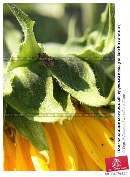 Подсолнечник масличный, крупный план (Helianthus annuus), фото № 79524, снято 8 декабря 2007 г. (c) Сергей Лешков / Фотобанк Лори
