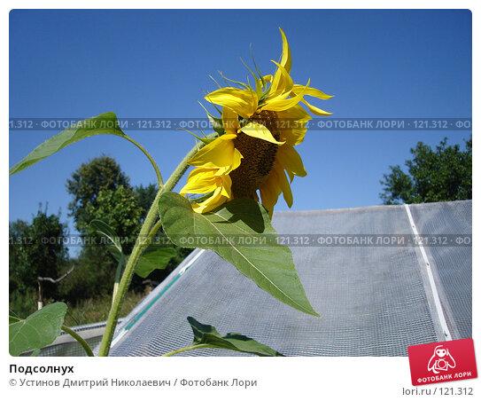 Подсолнух, фото № 121312, снято 12 августа 2007 г. (c) Устинов Дмитрий Николаевич / Фотобанк Лори